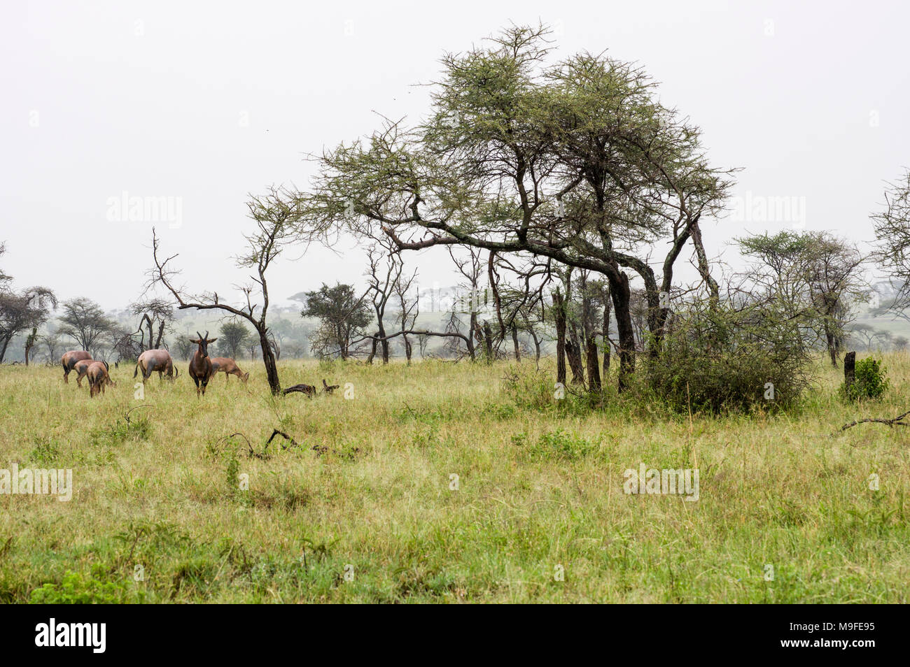 a small herd of topi - damaliscus lunatus jimela - grazing in long grass against a misty landscape with acacia trees one alpha male - Stock Image