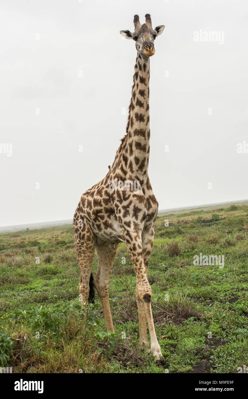 Masai giraffe giraffa camelopardalis tippelskirchi in the serengeti northern tanzania africa looking at a bush white cloudy sky - Stock Image