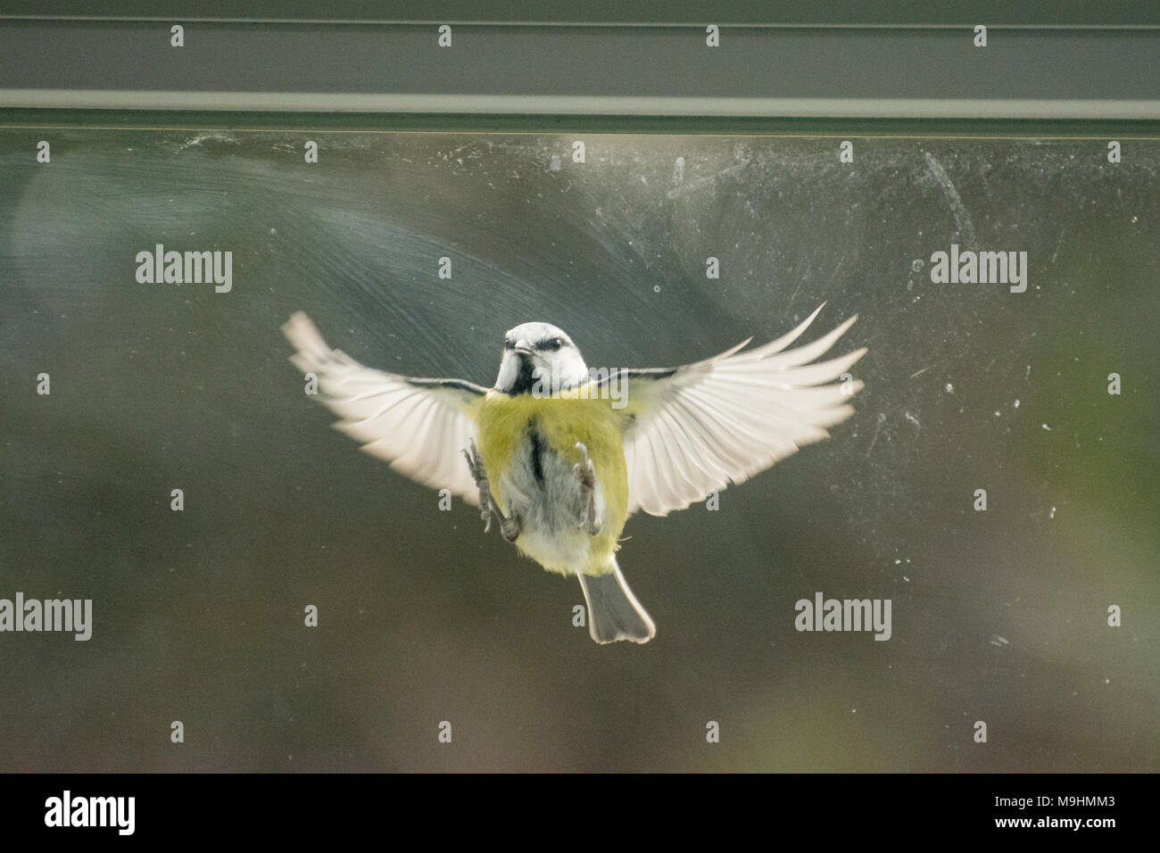 blue-tit-cyanistes-caeruleus-tapping-at-the-window-mistaking-its-own-reflection-for-a-rival-bird-behaviour-animal-humour-M9HMM3.jpg