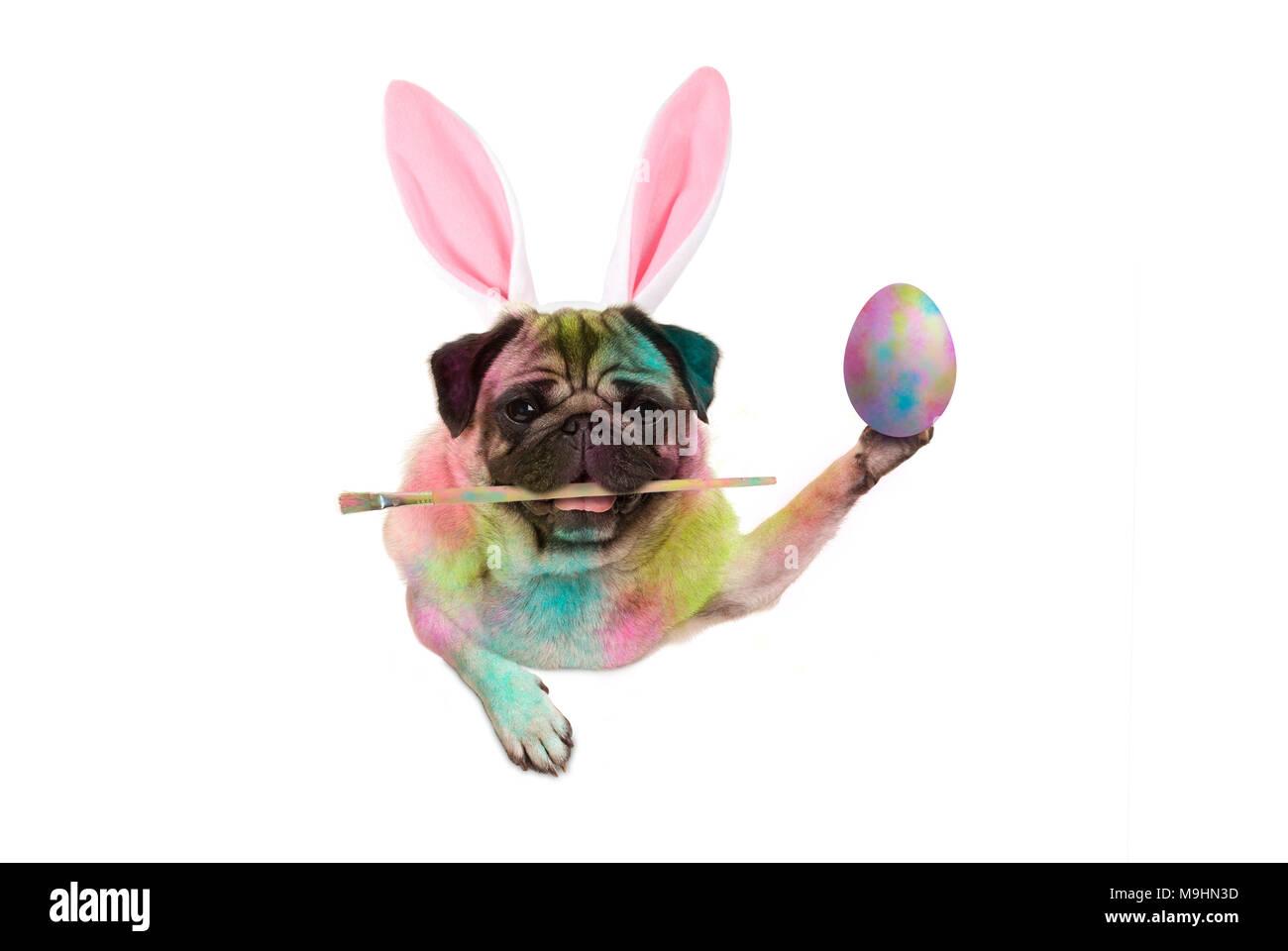 colorful easter pug dog bunny painting easter eggs, holding paintbrush, isolated on white background - Stock Image