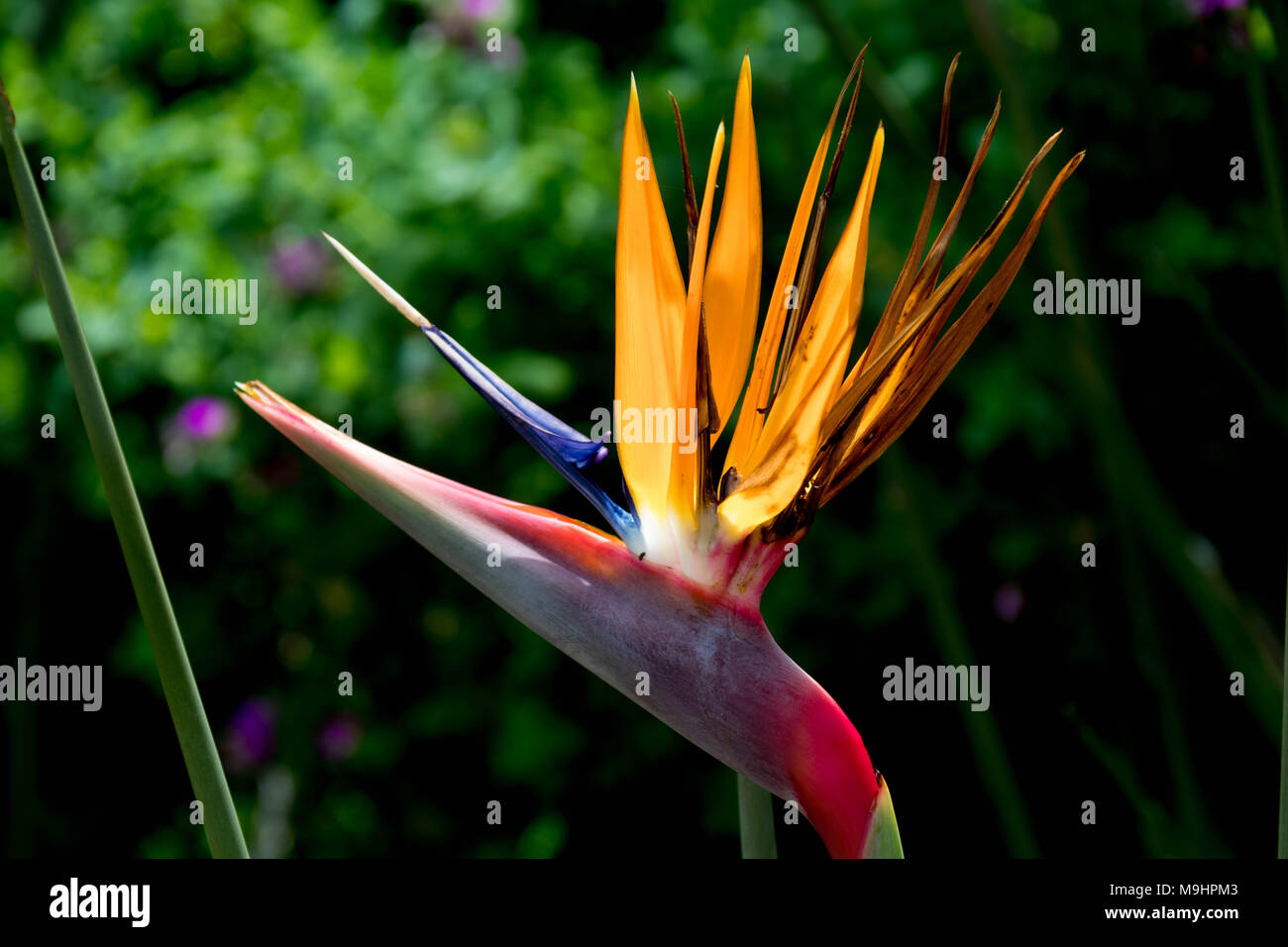 Exotic Flower In Orange Blue And Pink In Front Of Green Forest
