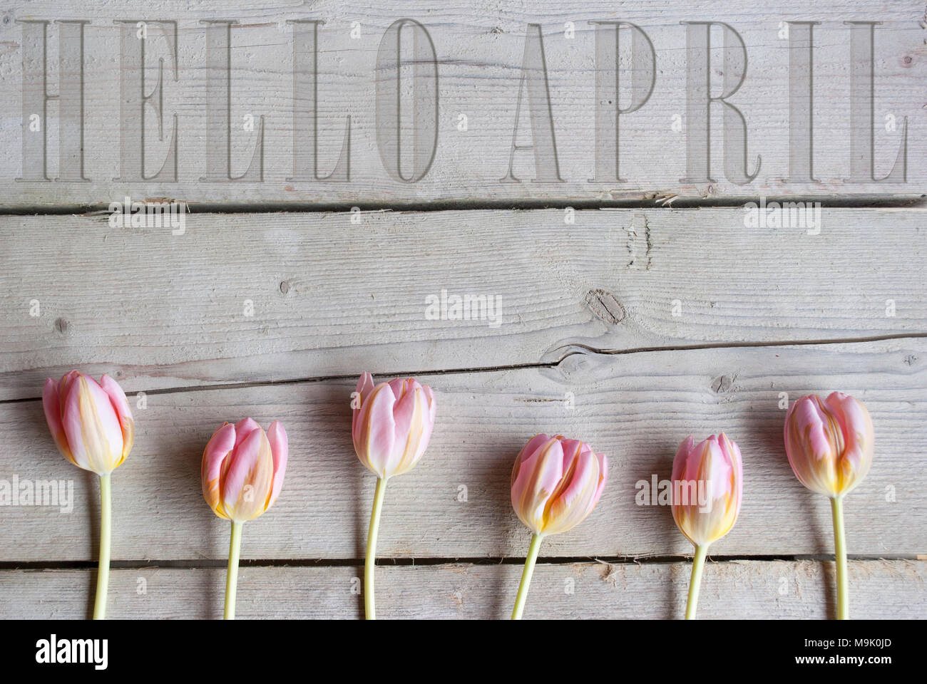Hello April carved in vintage wooden backdrop, with blooming pink spring tulips - Stock Image