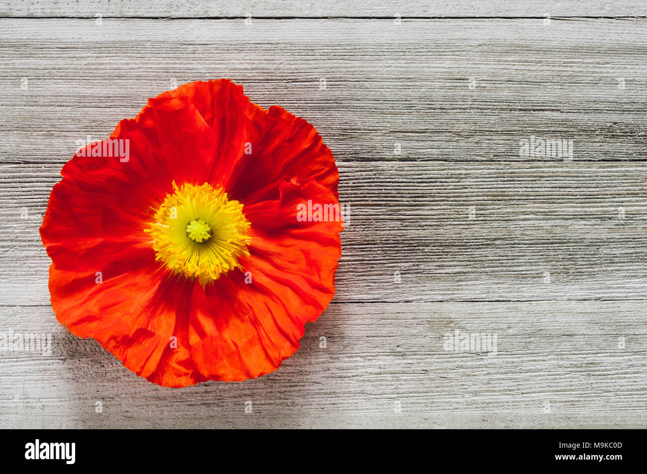 Single Orange Poppy Flower on White Rustic Table with Space for Copy - Stock Image