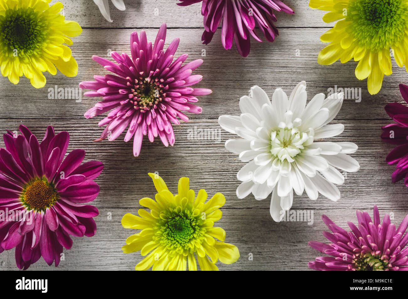 A Variety of Chrysanthemum Flowers Arranged on White Rustics Table - Stock Image