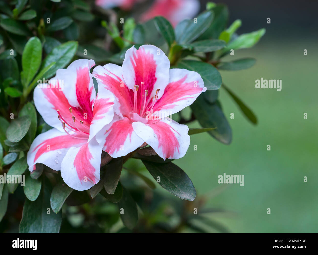 Azalea Flowers Bloom In The Flower Garden In The Early Spring