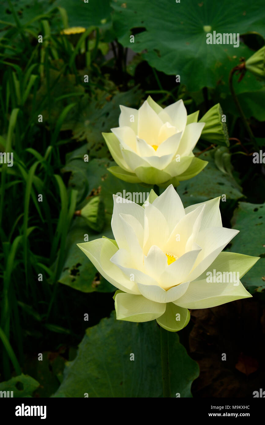 National flower of india stock photos national flower of india the national flower of india growing prolifically here in a countryside wetlands area of cambodia izmirmasajfo Choice Image