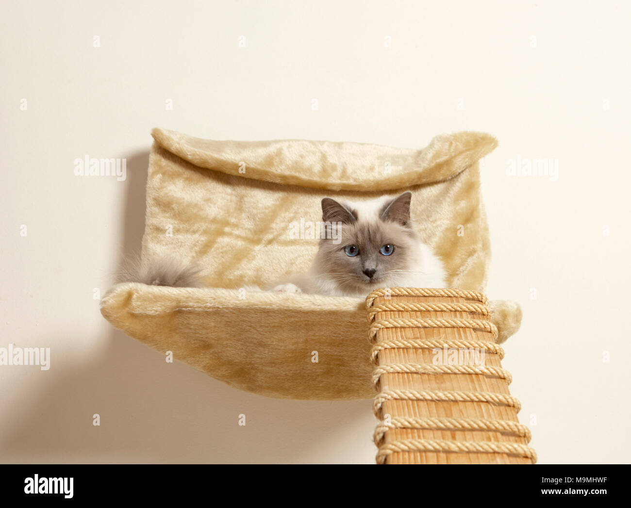 Sacred Birman Adult Cat Lying In A Wall Mounted Pet Bed With