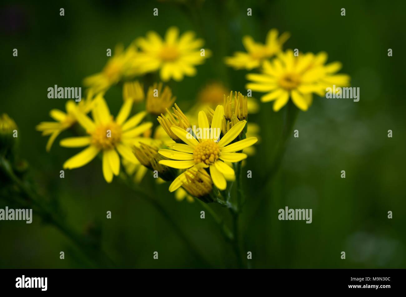 Beautiful Yellow Daisy Flowers On Dark Background Stock Photo