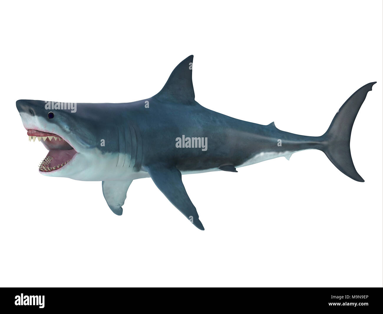 Megalodon Shark Attack Posture - The prehistoric Megalodon shark could grow to be 82 feet in length and lived during the Miocene to Pliocene Periods. - Stock Image