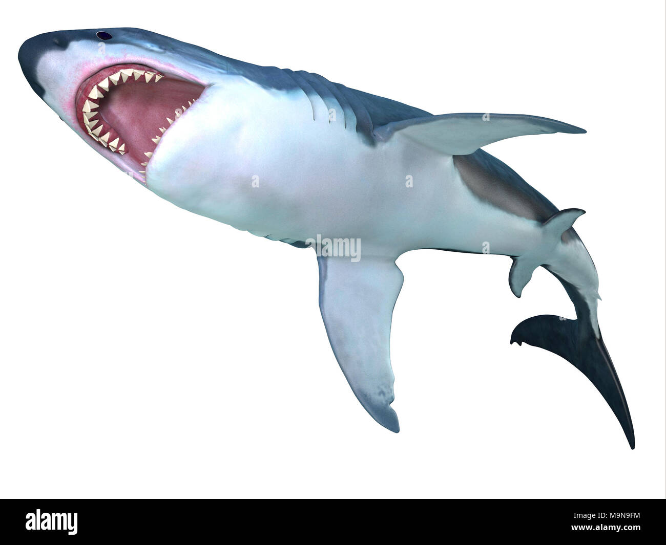 Megalodon Shark Underbelly - The prehistoric Megalodon shark could grow to be 82 feet in length and lived during the Miocene to the Pliocene Periods. - Stock Image