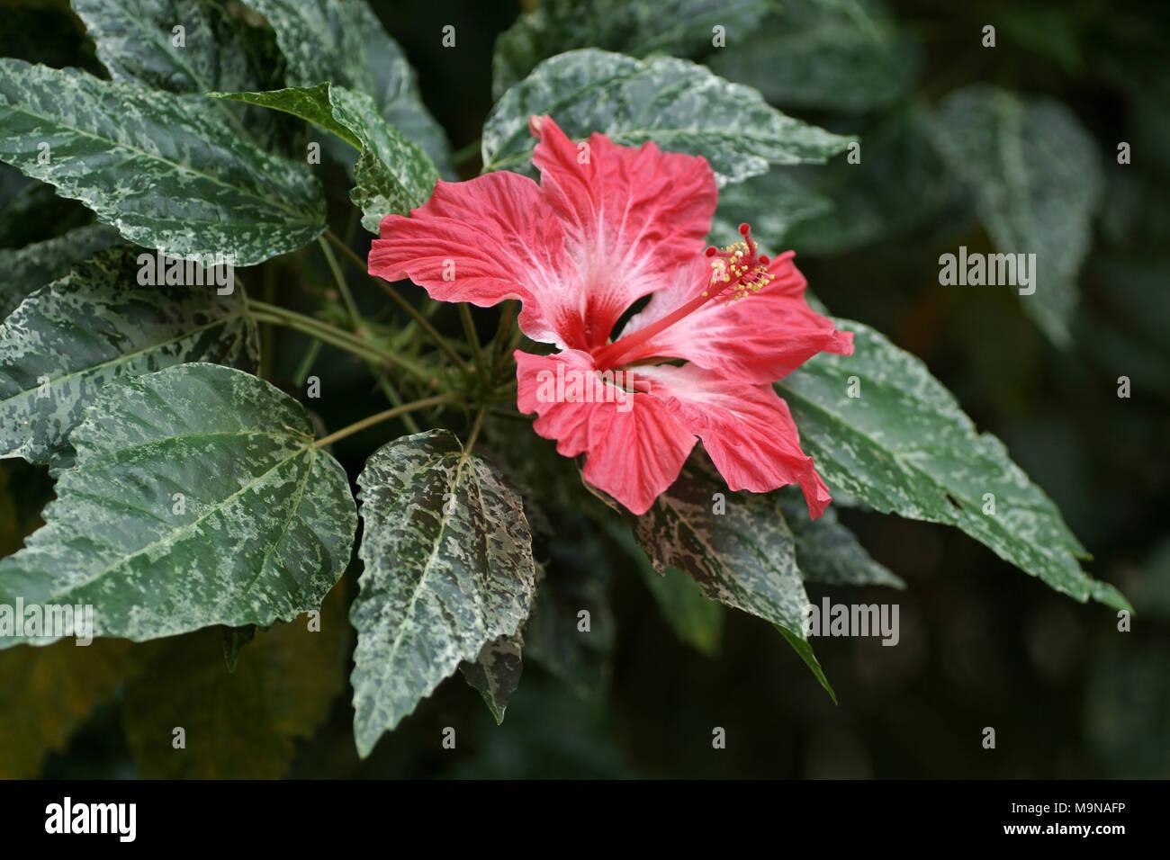 Flower of hibiscus rosa sinensis cooperi stock photo 178104858 flower of hibiscus rosa sinensis cooperi izmirmasajfo