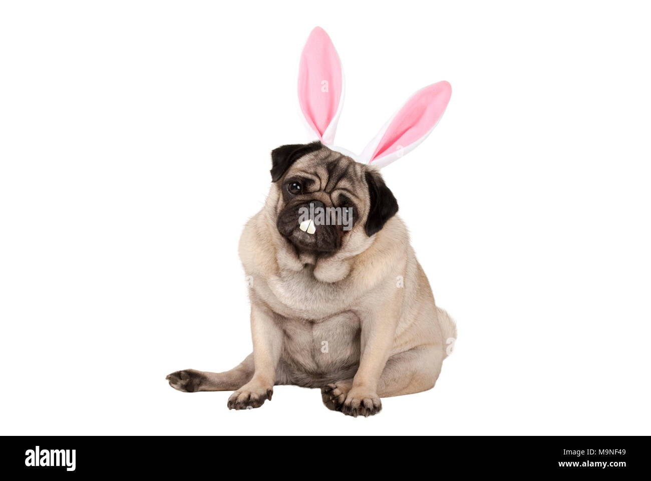 sweet cute pug puppy dog sitting down with easter bunny ears and teeth, isolated on white background - Stock Image