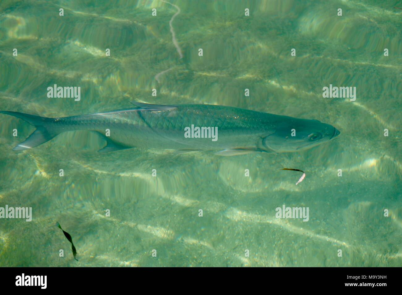 Fish swimming in shallow waters on a sand bar near Key West, Florida, USA - Stock Image