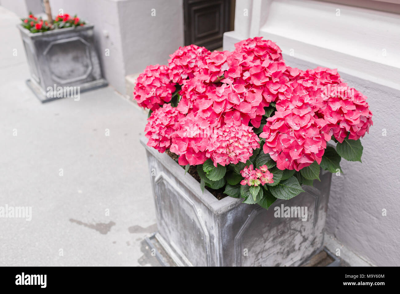 Pink Hydrangea In Pots Outdoor On The Summer Patio Small Townhouse