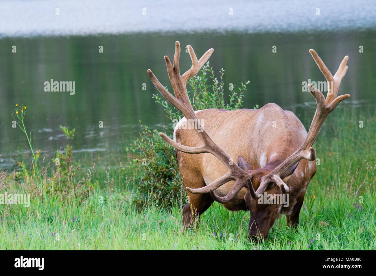 Bull elk feeding in a tall grass. Jasper, Alberta, Canada. - Stock Image