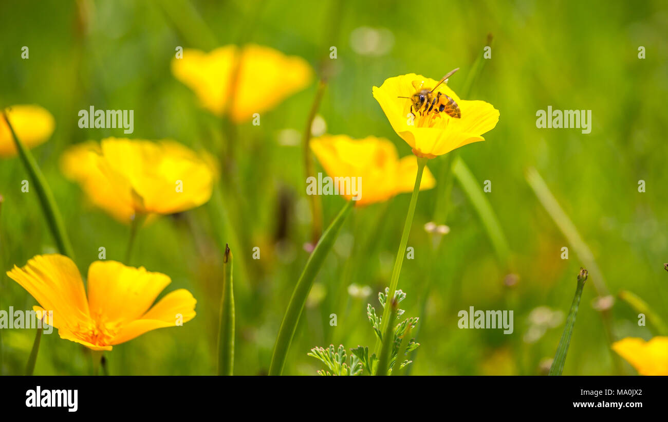 Stunning buttercup yellow flowers of eschscholzia californica stunning buttercup yellow flowers of eschscholzia californica californian poppygolden poppy california sunlight cup of gold a species of flowerin mightylinksfo