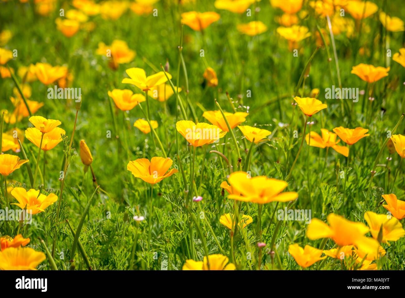 Stunning Buttercup Yellow Flowers Of Eschscholzia Californica