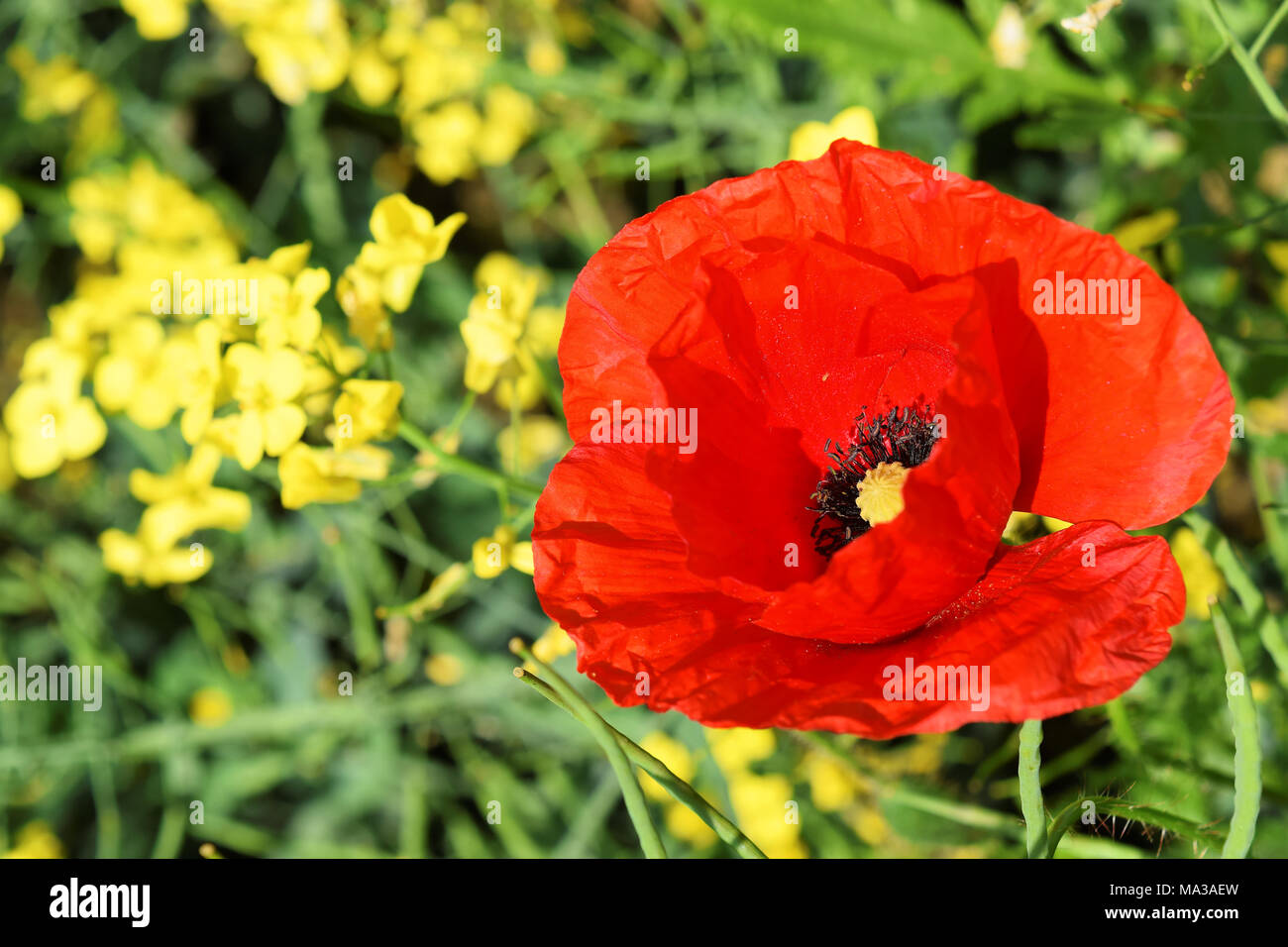 Poppy flower symbol of anzac day stock photo 178324353 alamy poppy flower symbol of anzac day mightylinksfo Image collections