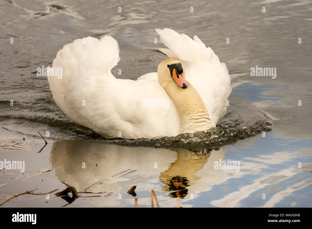 Melton Mowbray 29th March 2017: Grey clouds and rain Swans breeding, gresse and ducks battle for a breeding partner. Tafted ducks North America, Vagrant Visitors,  . Clifford Norton alamy Live News. - Stock Image