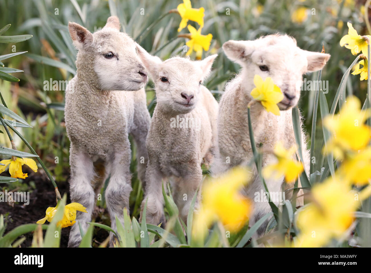 Bocketts Farm, Surrey, UK. 30th March, 2018. Three cute one day old spring lambs pictured enjoying the warm weather ahead of the projected Bank Holiday washout this weekend with heavy rain and cold temperatures forecast - Bocketts Farm, Surrey. Credit: Oliver Dixon/Alamy Live News - Stock Image