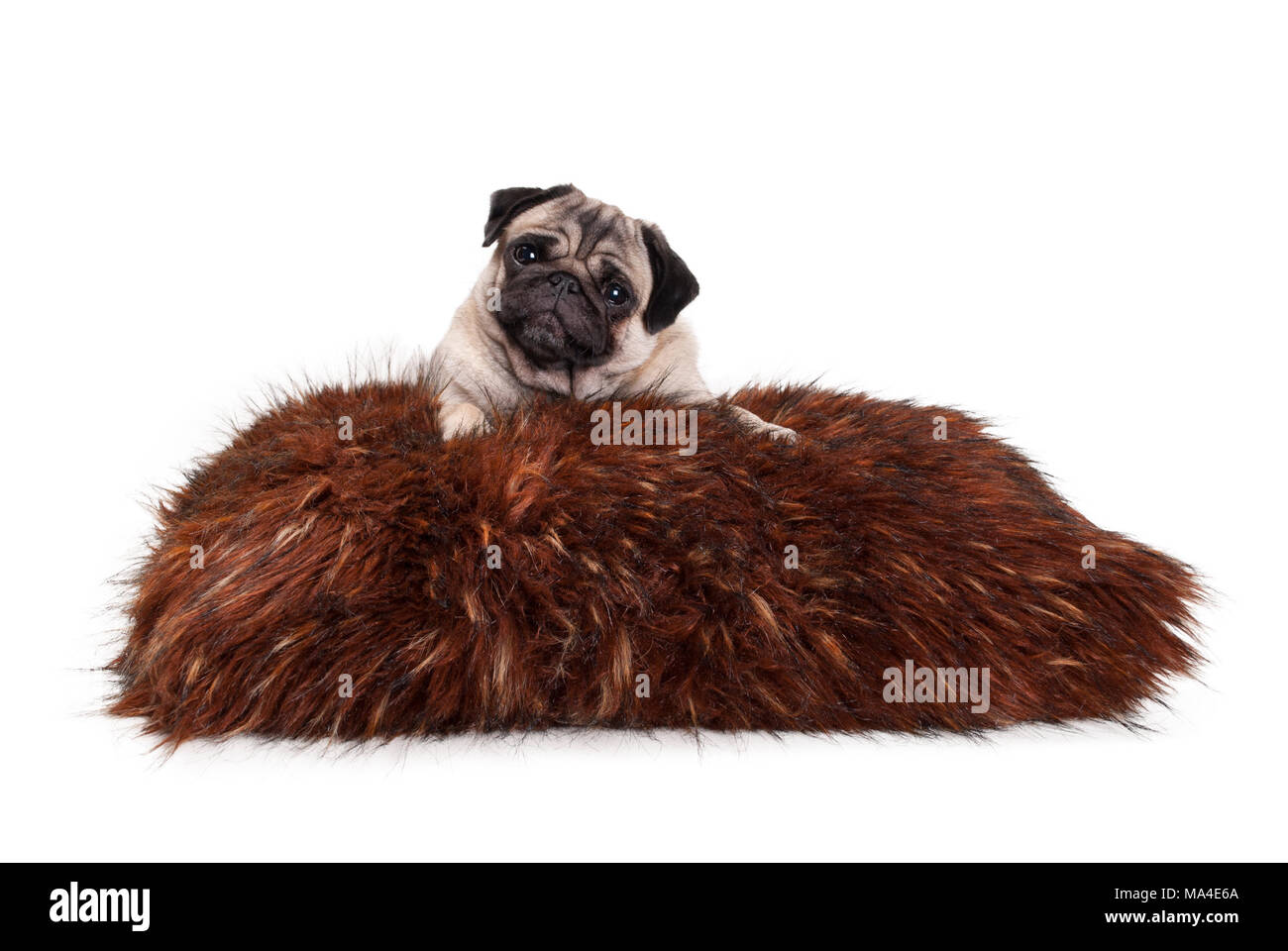 cheeky pug puppy dog lying down on fuzzy fake fur pillow, isolated on white background - Stock Image
