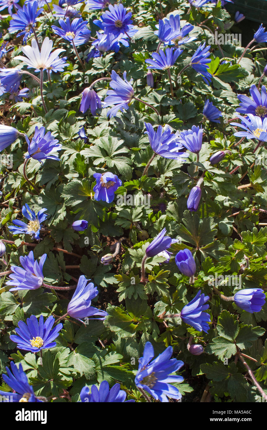 Anemone Blanda Blue In Flower Early Spring Clump Forming