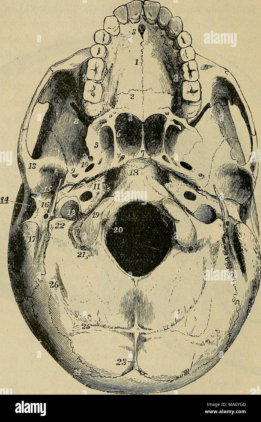 Elementary Physiology Fig 13external Base Of The Skull Allen