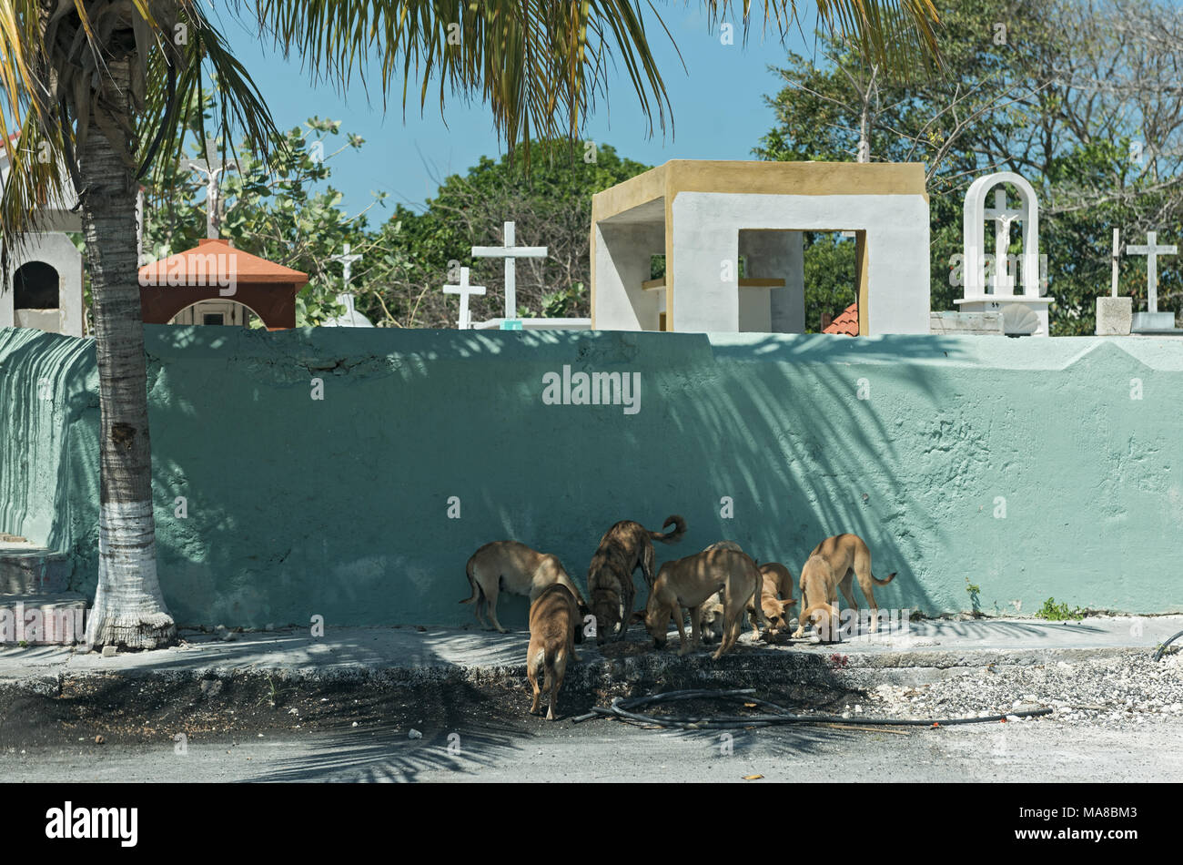 Street dogs in front of a cemetery wall in Progreso, Mexico - Stock Image