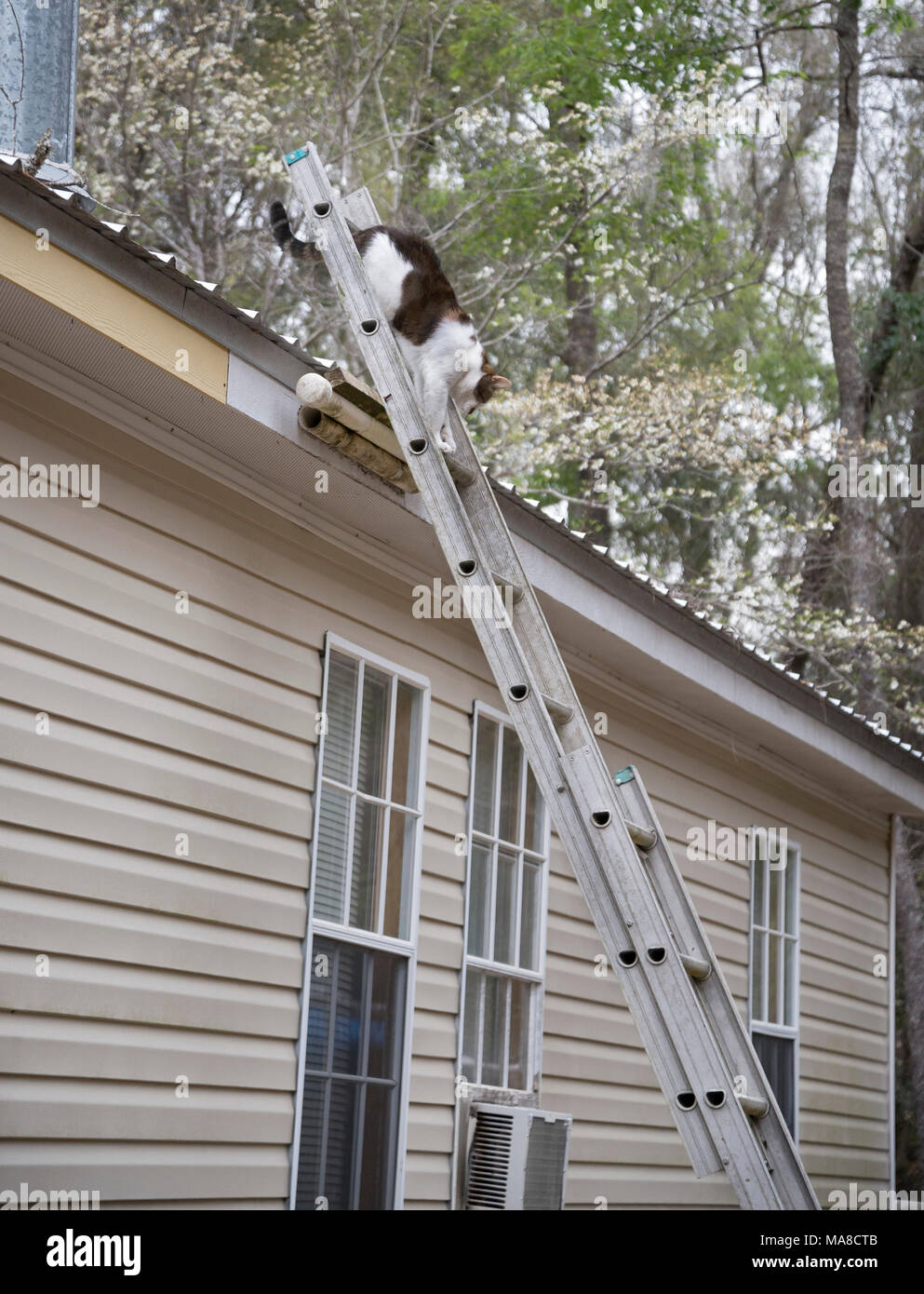 Missy the cat descending a ladder from a roof. - Stock Image