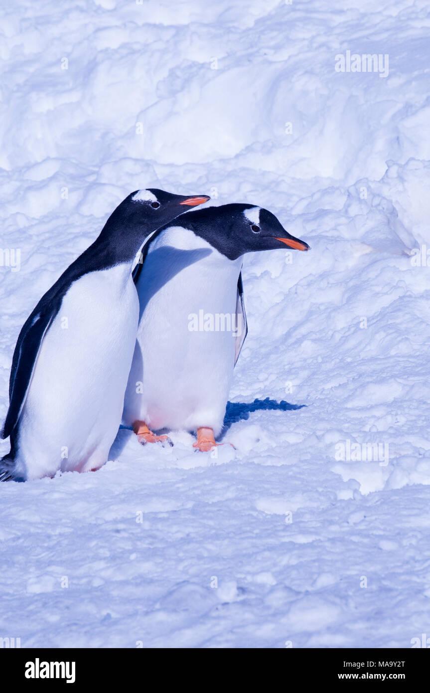 A pair of Gentoo penguins (Pygoscelis papua) at Brown Bluff on the Antarctic Peninsula, Antarctica - Stock Image