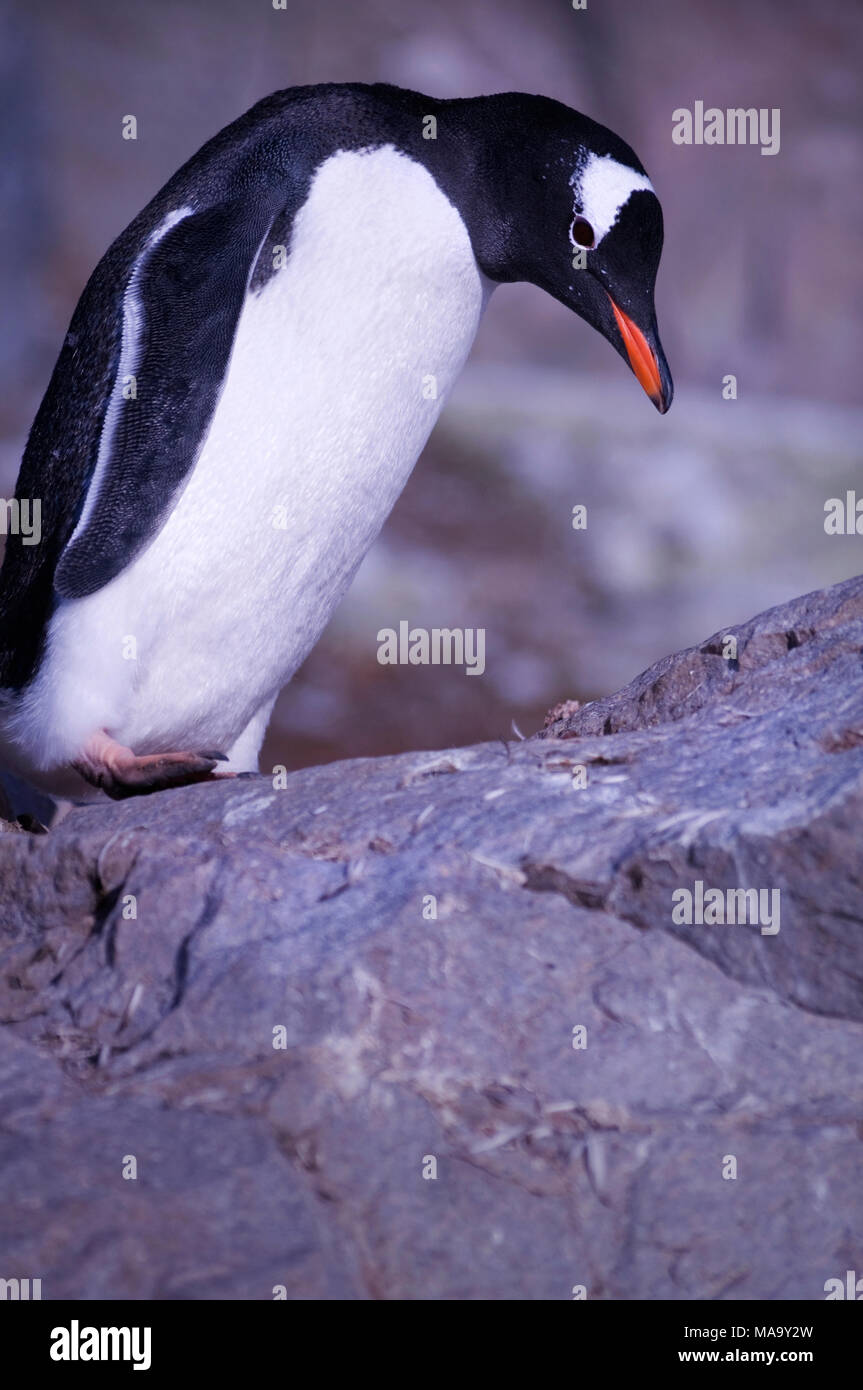 Gentoo penguin (Pygoscelis papua) at Brown Bluff on the Antarctic Peninsula, Antarctica - Stock Image
