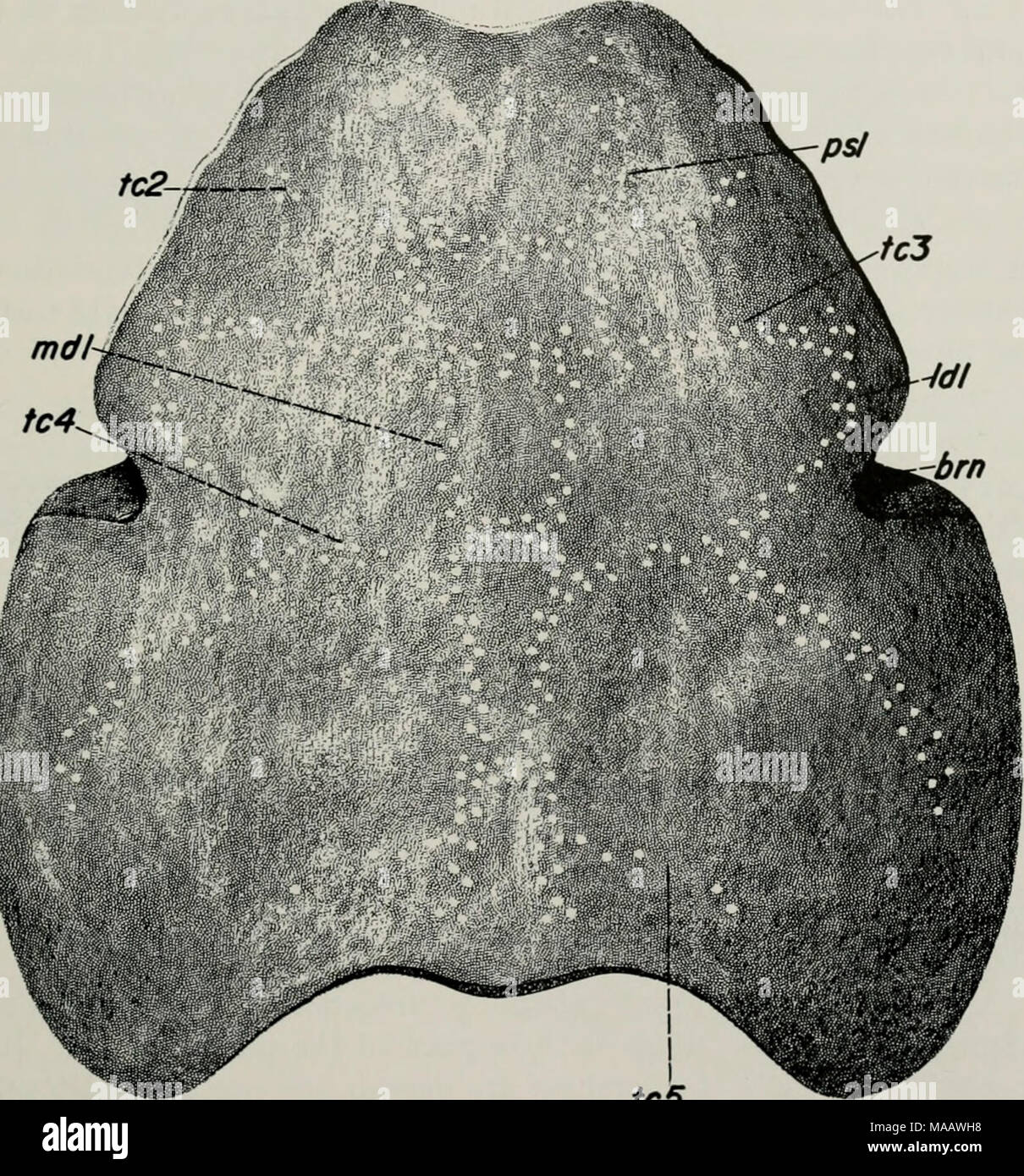 . Early Devonian fishes from Utah : Heteroostraci . tc5 Fig. 68. Restoration of dorsal shield of Cardipeltis ivallacii (X H)- brn, branchial notch; Idl, lateral dorsal sensory line; mdl, median dorsal sensory- canal; psl, ?pineal-supraorbital sensory canal; ic2-5, dorsal sensory transverse commissures. 4. No specimens have been collected that might represent ros- tral, pineal, or orbital plates. This is, of course, purely negative evidence, but perhaps sufficient collecting has been done so that it has some weight. The following points may be interpreted as supporting the view that the Cardipe - Stock Image