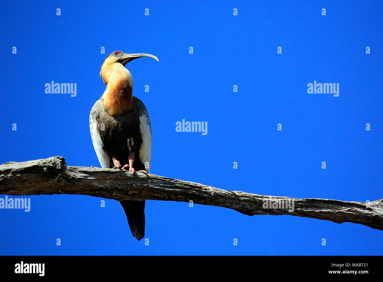 Buff-necked Ibis (Theristicus caudatus, aka White-throated Ibis, Curicaca) on a Branch against Clear Blue Sky. Pantanal, Brazil - Stock Image