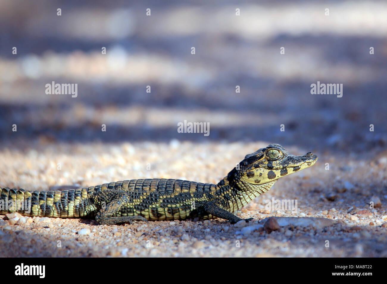 Tiny Baby Caiman Crossing the Road (Caiman crocodilus) Pantanal, Brazil - Stock Image