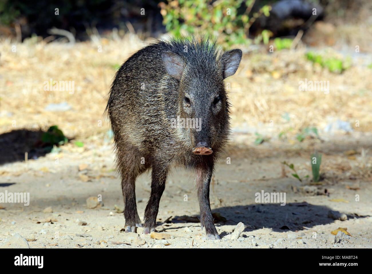 Young Collared Peccary (Pecari tajacu). Pantanal, Brazil - Stock Image