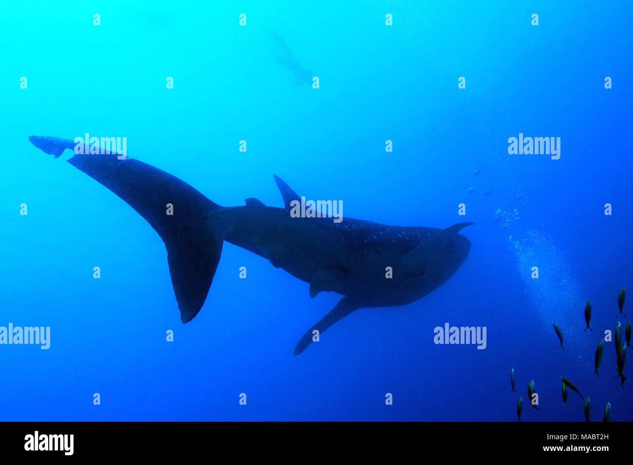Whale Shark Silhouette, with Snorkeler by the Surface. South Ari Atoll, Maldives - Stock Image