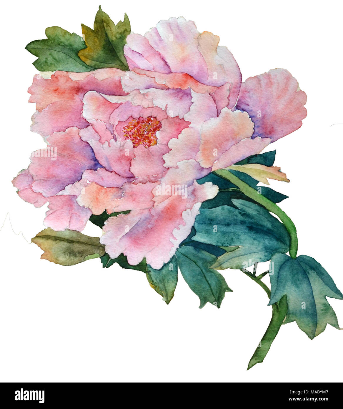 Pink Peony Flower In Watercolor In Chineese Style On White