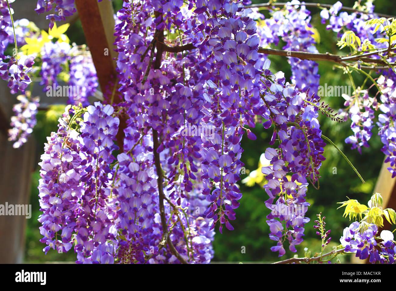 Purple Wisteria Flowersbeautiful Scenery Of Purple With Yellow