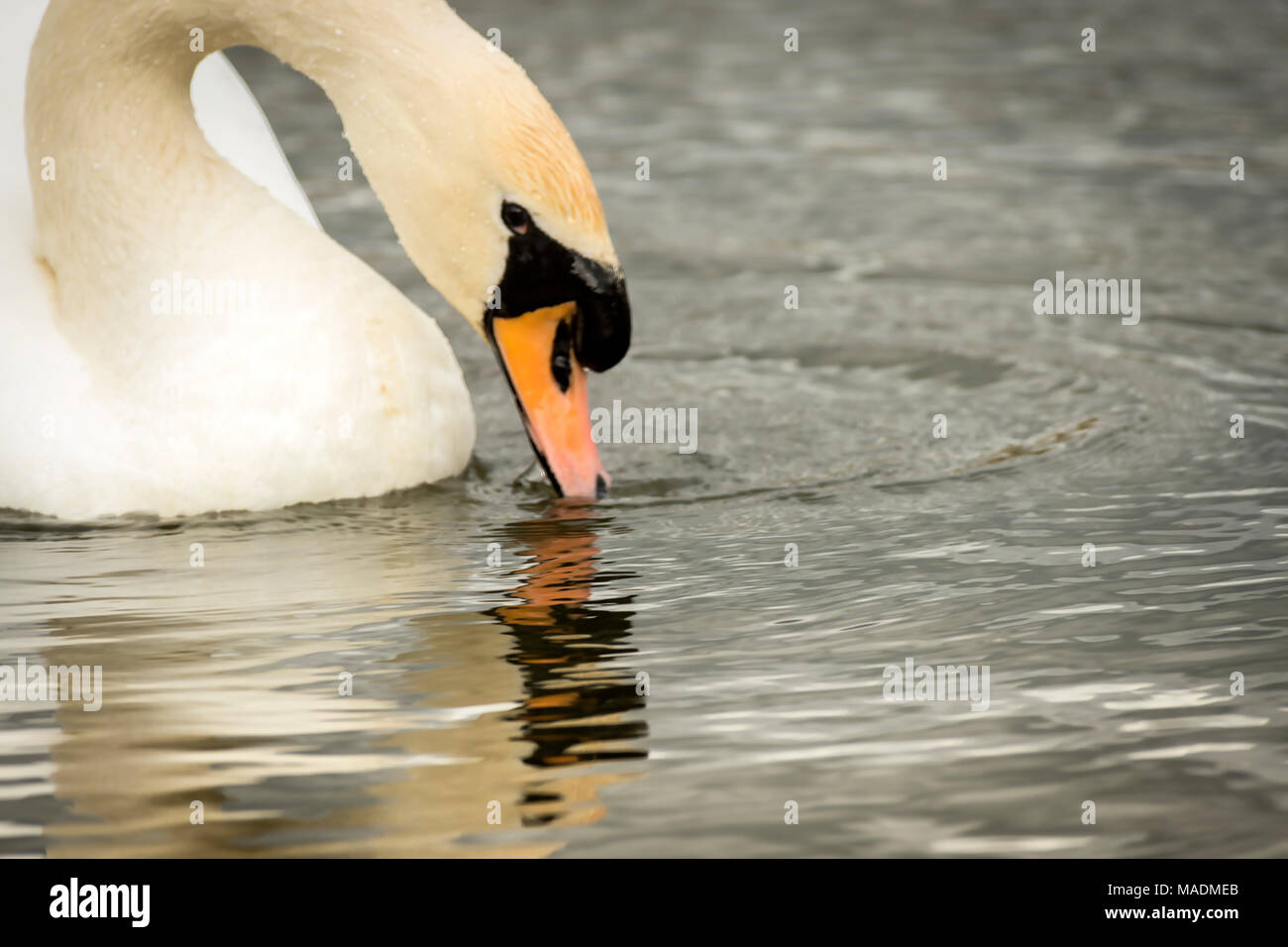 Melton Mowbray 29th March 2017: Swan reflection cold spring weather.  Clifford Norton alamy Live News. - Stock Image