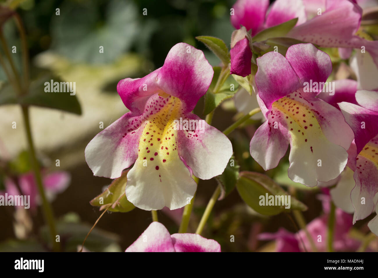 Trumpet Shaped Pink And White Mimulus Naiandinus Chilean Monkey