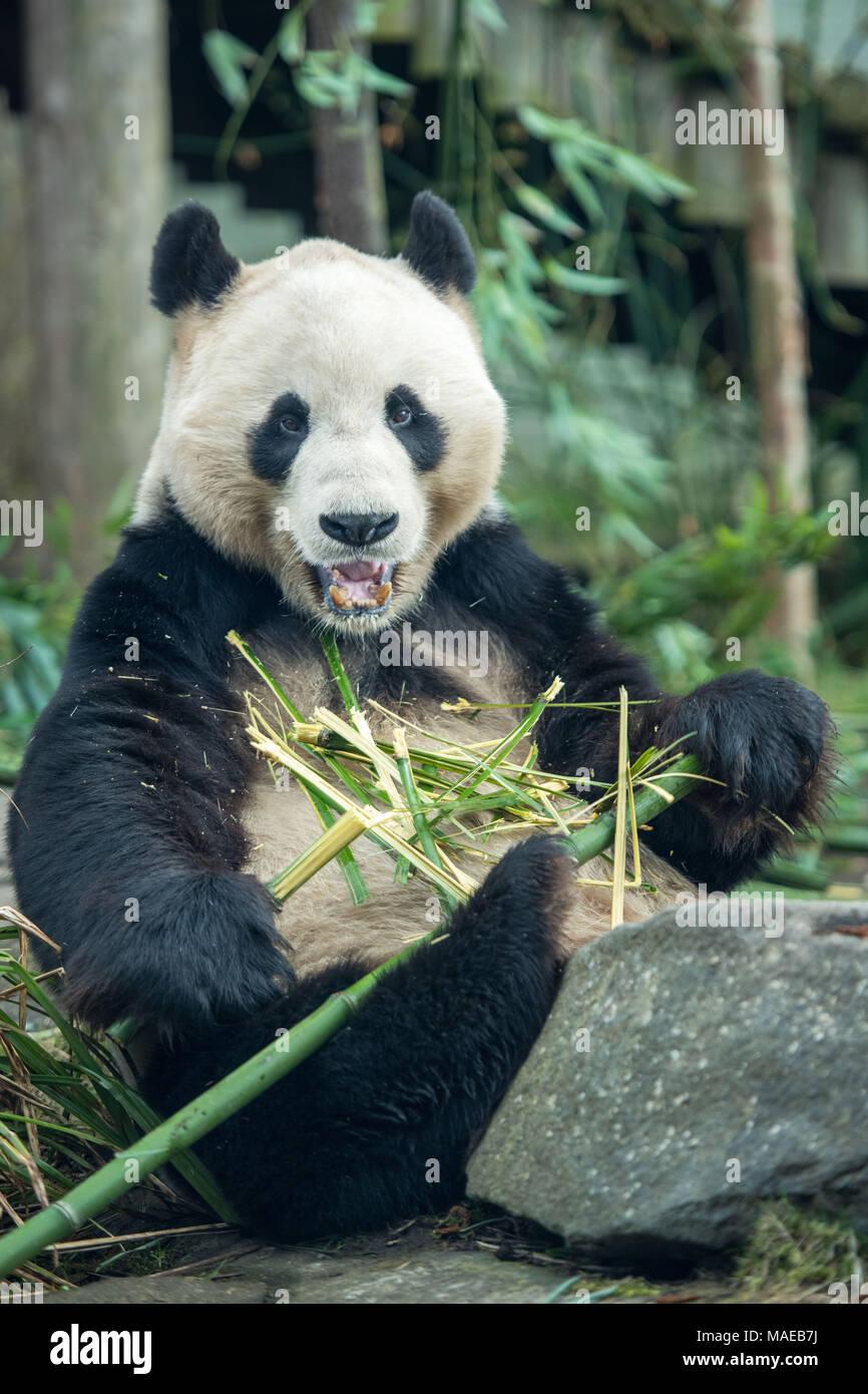 Edinburgh UK Apr 01 2018; Giant panda male Yang Guang at Edinburgh Zoo. credit steven scott taylor / alamy live news Credit: Steven Scott Taylor/Alamy Live News - Stock Image
