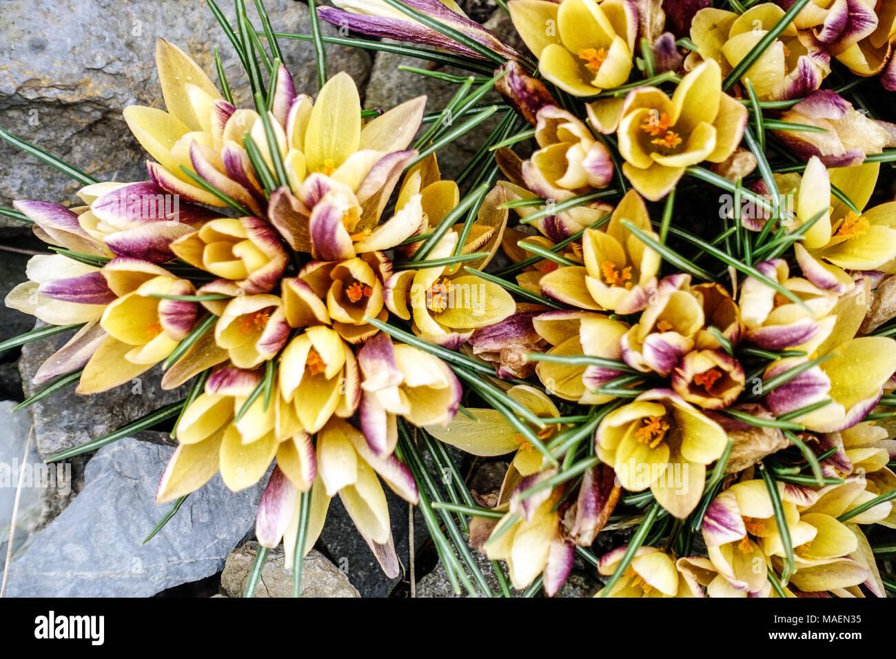 579ac45e18dda2 Crocus chrysanthus