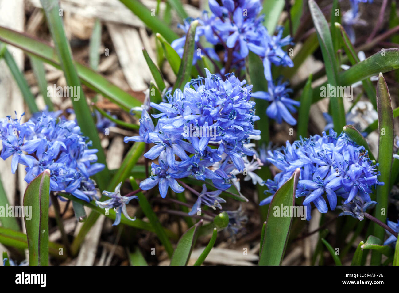 Alpine Squill Scilla Bifolia Flowering Bulbous Plant In Early