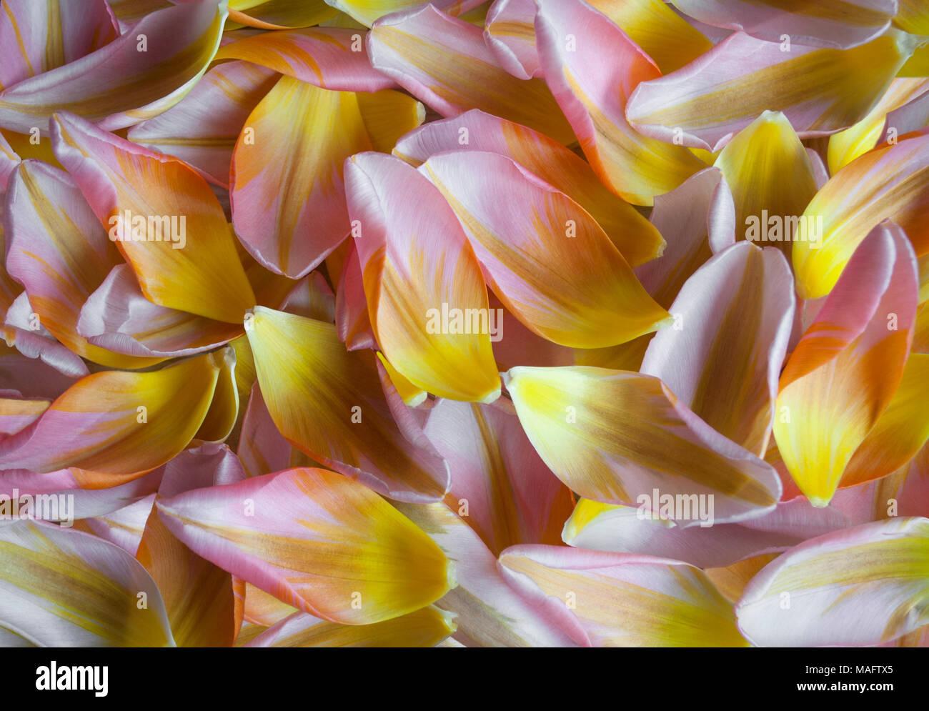 closeup of Dutch tulip petals, colorful spring backdrop - Stock Image