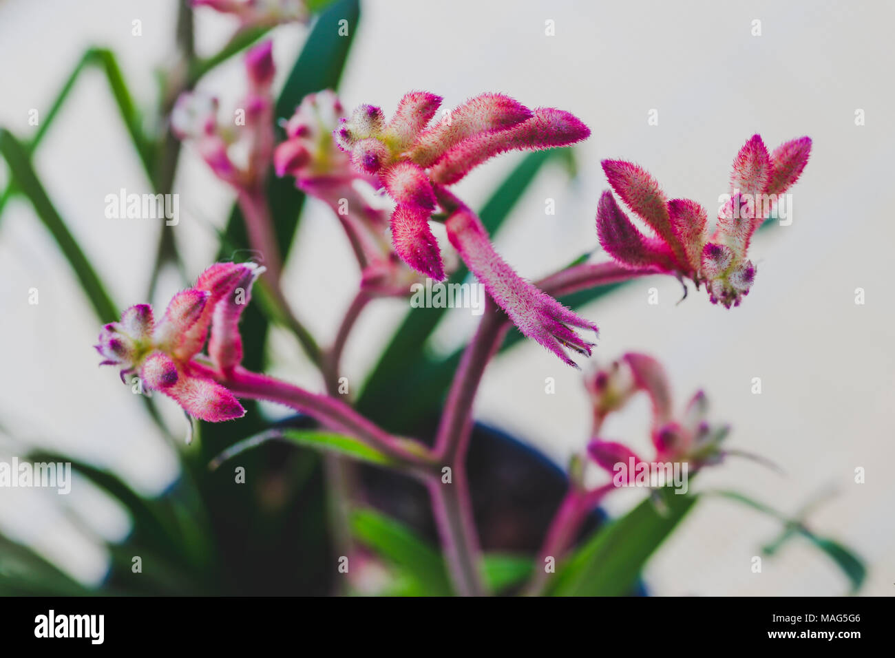 Close Up Of A Kangaroo Paw Anigozanthos Plant With Red Pink