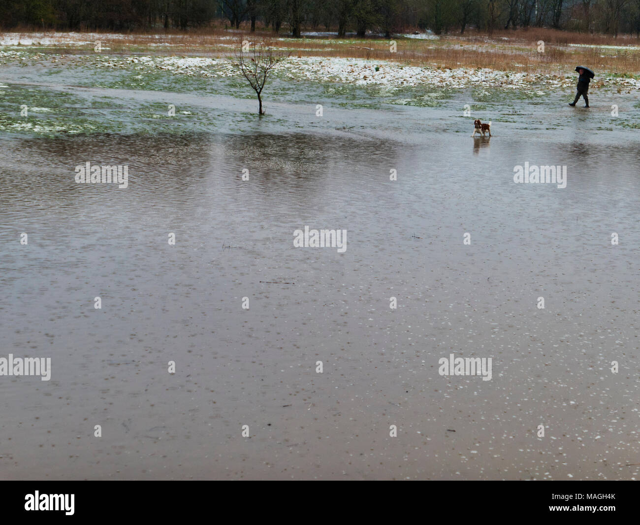 Ashbourne, Derbyshire. 2nd Apr, 2018. UK Weather: Man walking his dog after 1' of morning snow quickly melts causing flooding on Easter Bank Holiday Monday in Ashbourne, Derbyshire Credit: Doug Blane/Alamy Live News - Stock Image