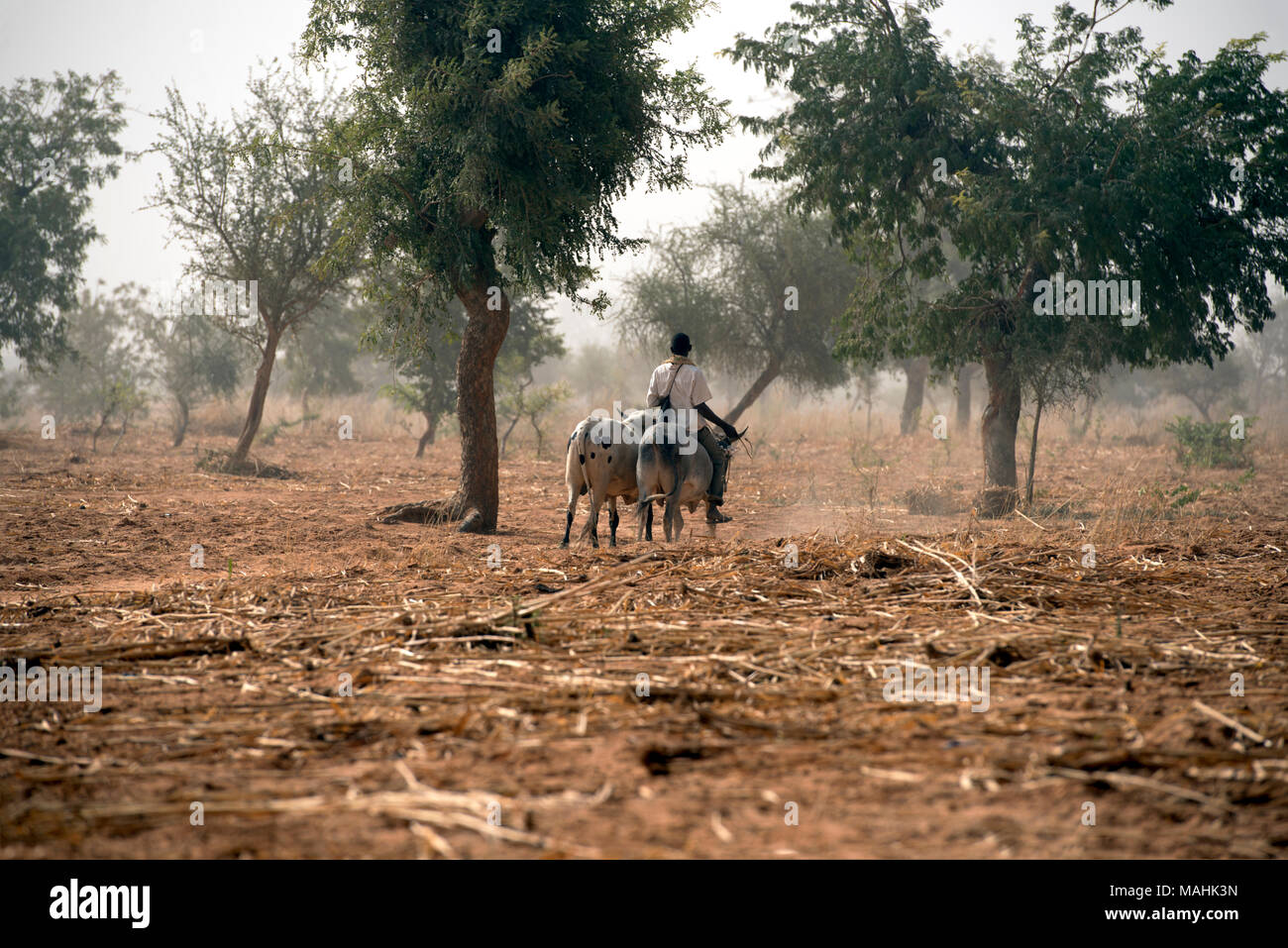 An indigenous Dogon tribe man takes his oxen to a field for the day's work. Dogon country, Mali, West Africa. - Stock Image