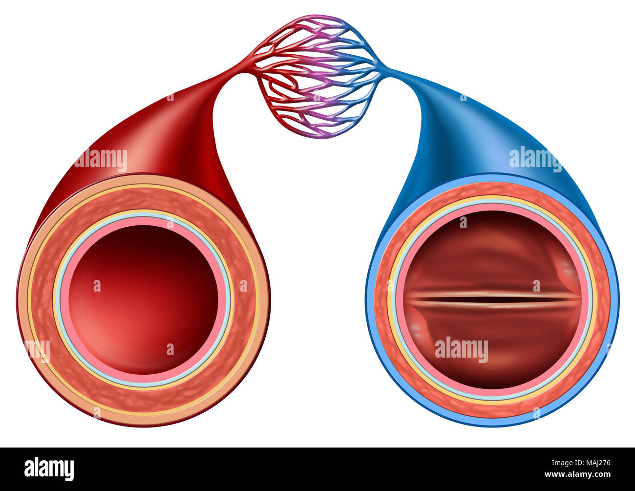 Artery And Vein Structure Comparison Concept As A Human Circulation