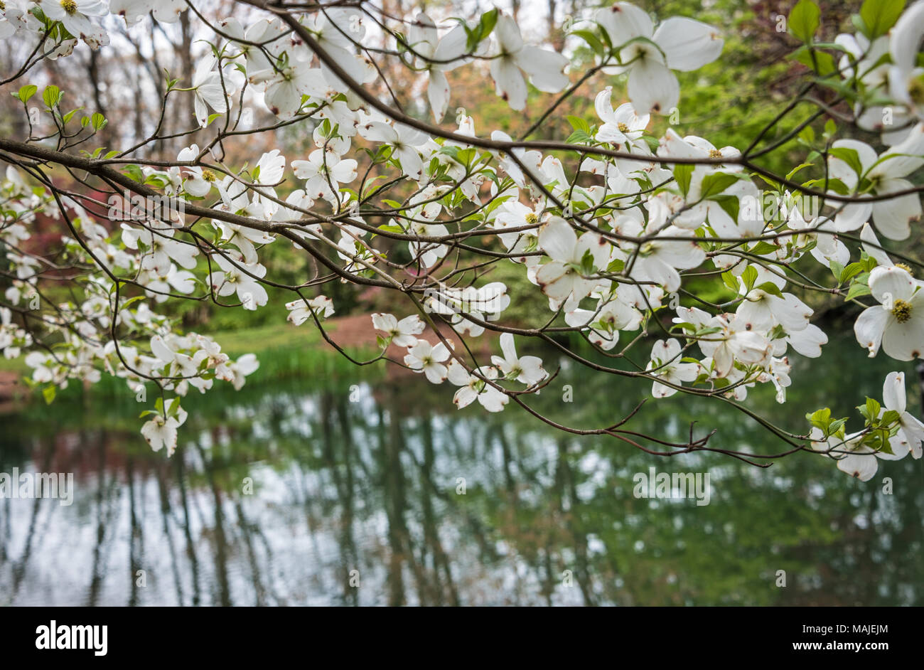 Dogwood Festival Stock Photos & Dogwood Festival Stock Images - Alamy