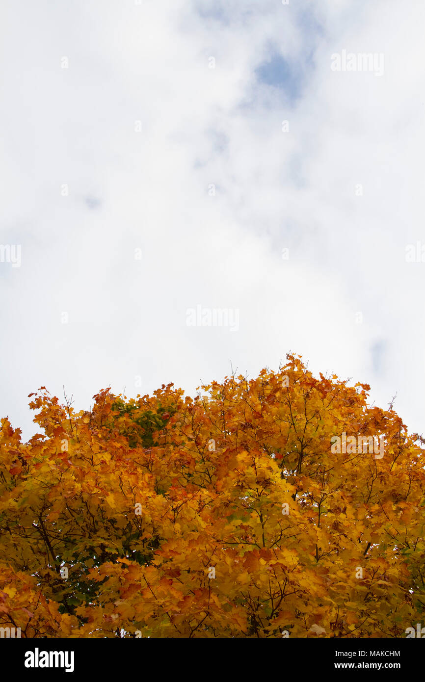 Autumnal gold leaves against a softly clouded sky - Stock Image